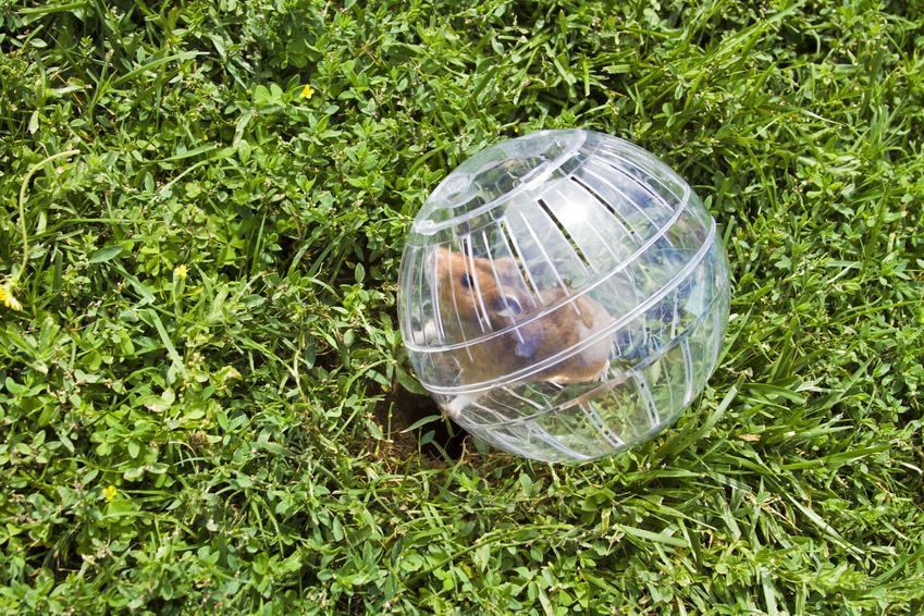 Chomik w kuli na trawniku, a także kula dla chomika, jej rodzaje i opinie