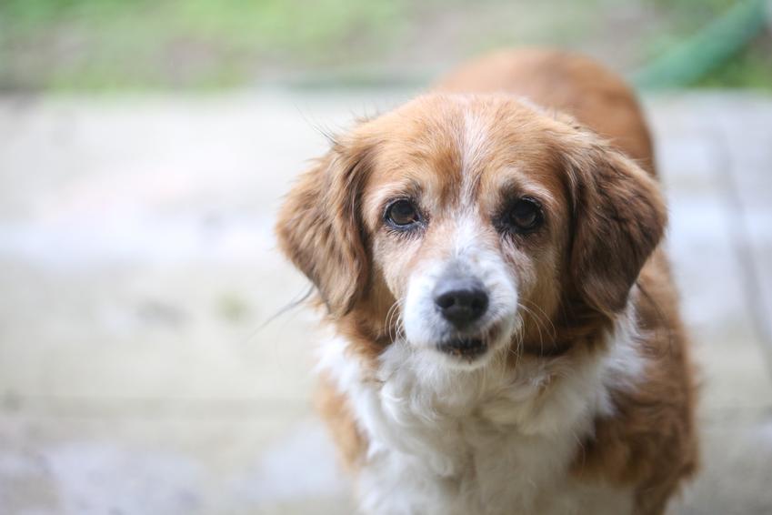 Pies na spacerze oraz porady, jak się liczy wiek psa oraz kalkulator pieskie lata na ludzkie