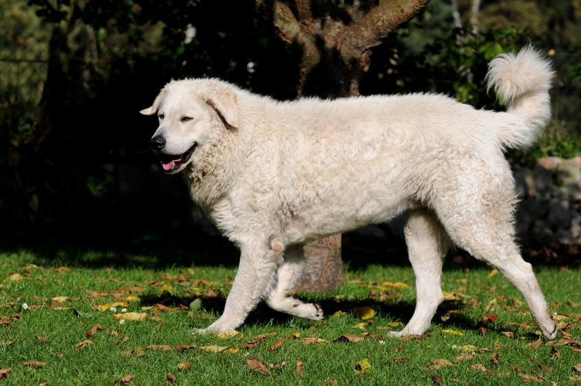 Pies rasy kuvasz spacerujący po trawie, czyli owczarek węgierski i jego hodowla