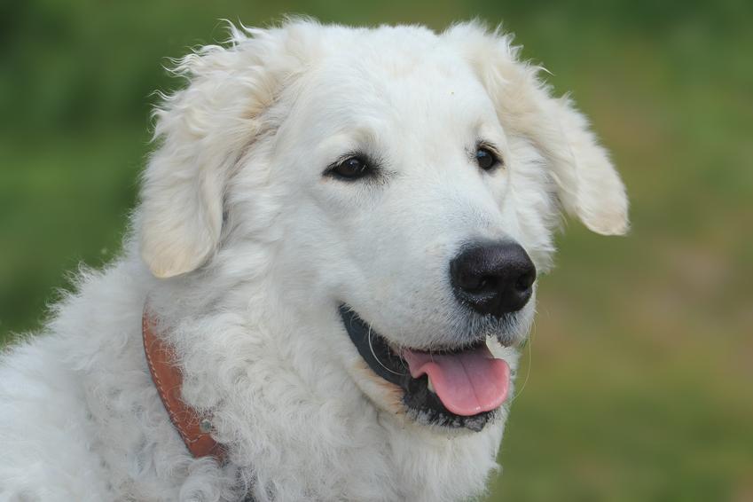 Pies rasy owczarek węgierski i zbliżenie na jego pysk, a także kuvasz i jego opis