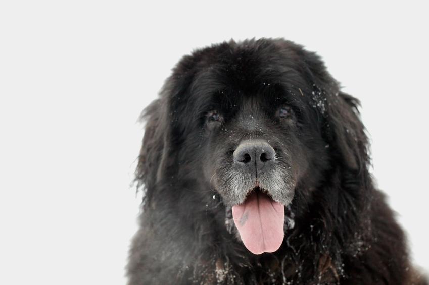 Pies rasy nowofundland na białym tle, czyli owczarek nowofunlandzki i jego hodowla