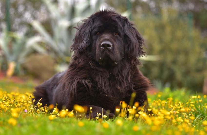 Pies rasy nowofundland siedzący wśród kwiatów, a także cena nowofundlanda