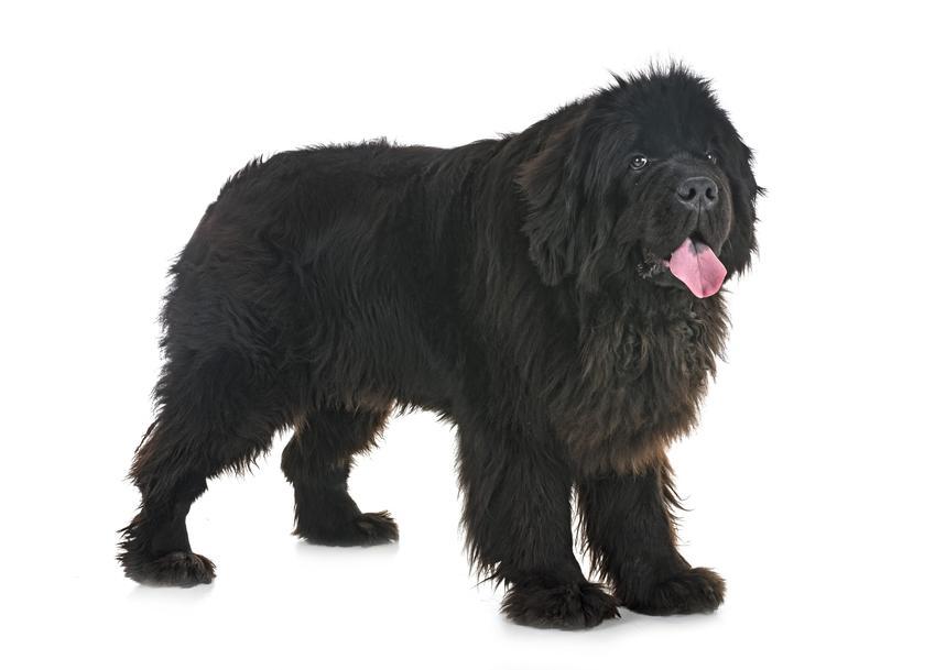 Pies rasy nowofundland na białym tle, a także cena nowofundlanda