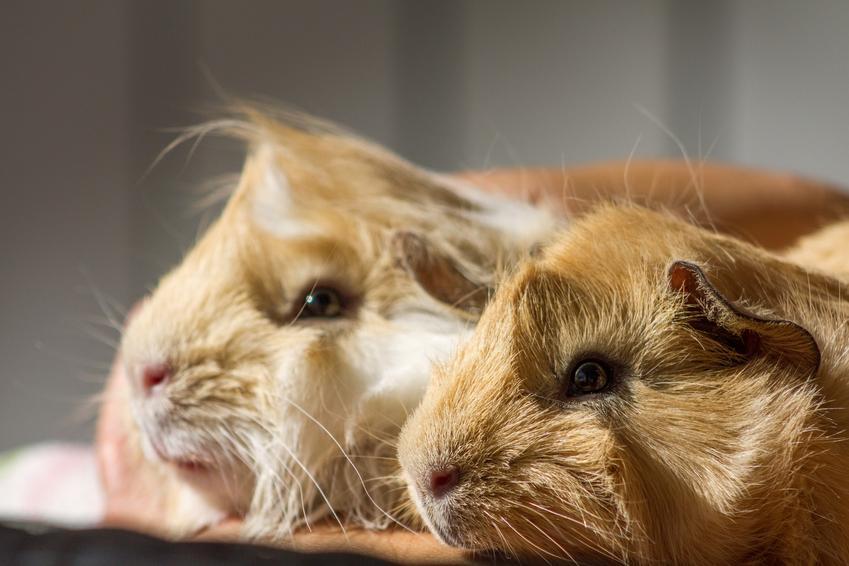 Dwie świnki morskie rasy świnka peruwianka, a także karmienie, hodowla, cena