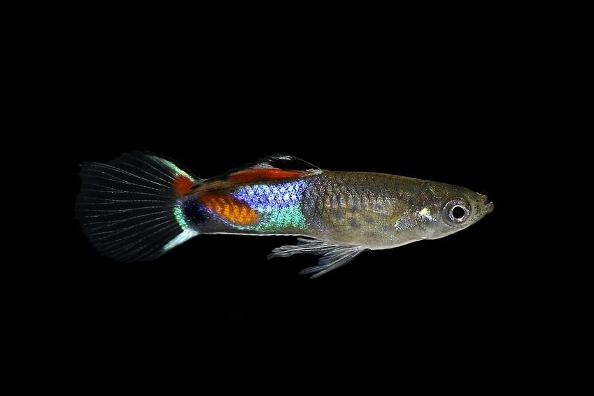 Ryba gupik endlera na czarnym tle, a take wymagania, hodowla i cena