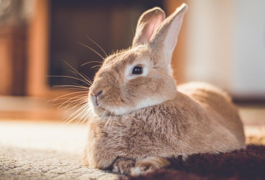 Królik domowy siedzący na dywanie, a także porady, jak zrobić wybieg dla królika