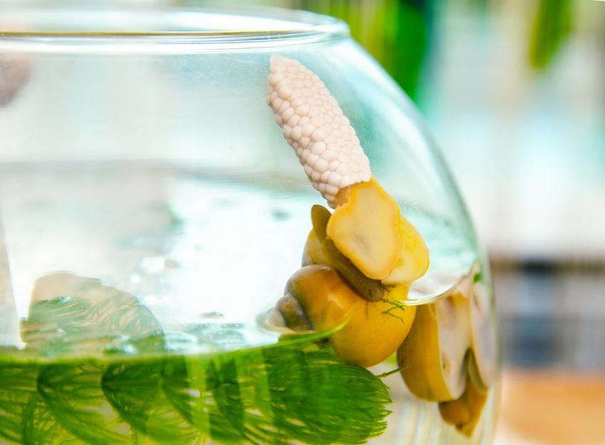 Zwierzątko ślimak ampularia w kuli akwariowej, a także wymagania i hodowla