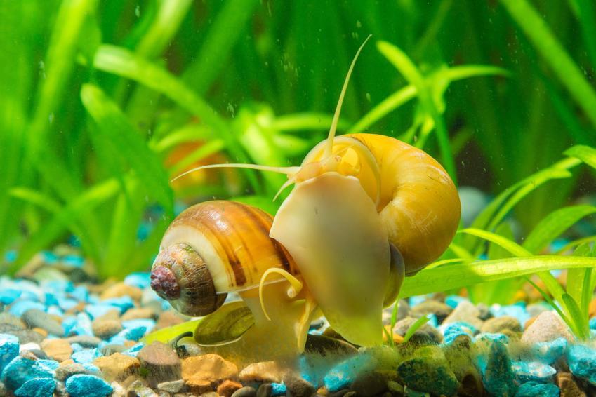 Ślimak ampularia na tle roślinek w akwarium, a także jeho hodowla, choroby i cena