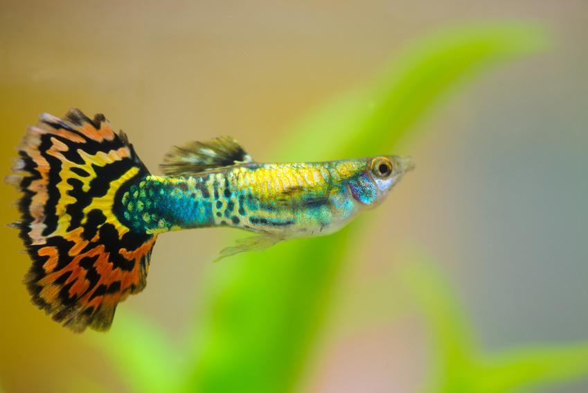 Piękna ryba gupik pawie oczko w akwarium, a także jej wymagania i hodowla
