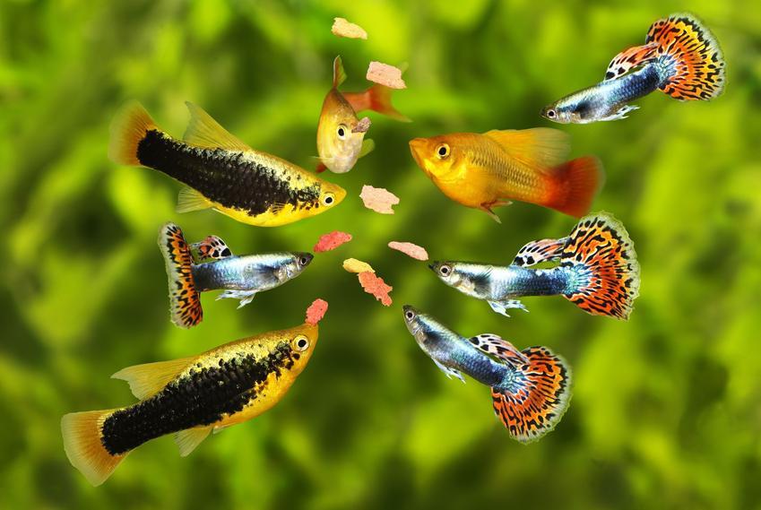 Rybki gatunku gupik pawie oczko w akwarium, a także hodowla i wymagania rybek