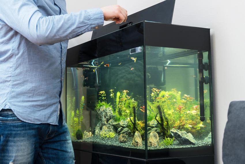 Mężczyzna przy akwarium, a także akwarium słodkowodne i zakładanie od podstaw