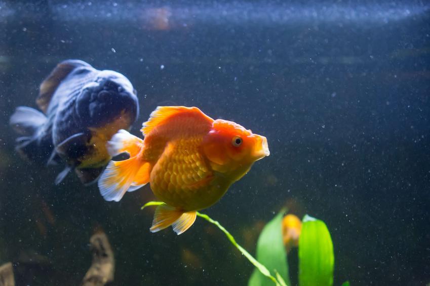 Rybka w ciąży w akwarium, a także kotnik dla rybek i jego wymiary