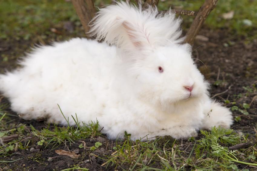 Duży królik angora na podwórku, a także jego cena, hodowla i karmienie