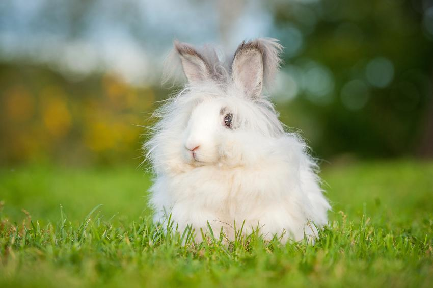 Biały królik angora siedzący na trawie, a także jego hodowla i wychowanie w domu