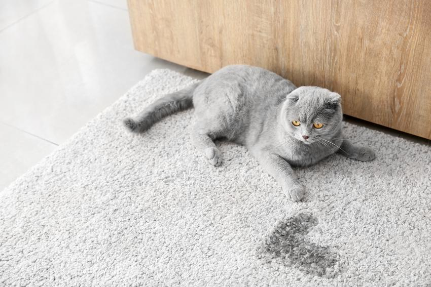 Kot i mokra plama na dywanie, a także jak usunąć zapach moczu kota