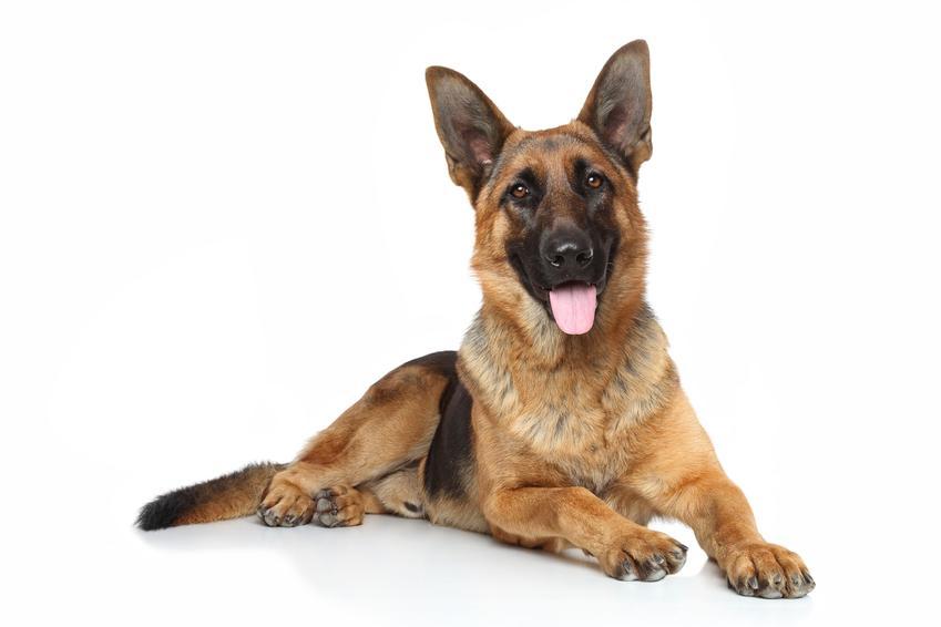 Pies rasy owczarek wilczasty lub niemiecki na białym tle oraz jego hodowla i cena