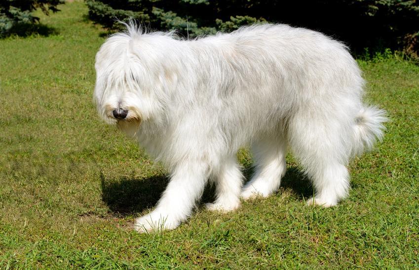 Pies rasy owczarek południoworosyjski Jużak podczas spaceru oraz jego opis