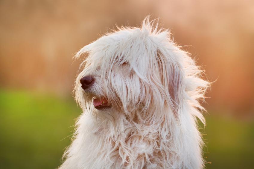 Pies rasy owczarek południoworosyjski Jużak na tle zieleni oraz jego charakter
