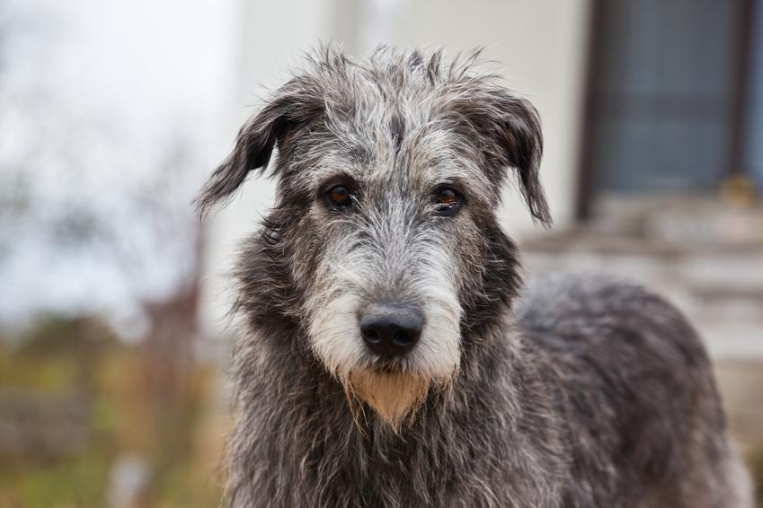 Pies rasy owczarek irlandzki na tle domu oraz jego charakter i cena