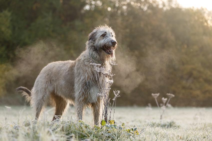 Pies rasy owczarek irlandzki porczas spaceru, a także jego cena i hodowla