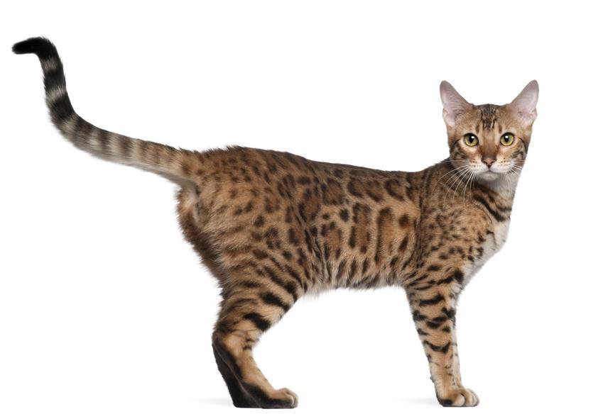 Rasowy kot bengalski na białym tle, a także charakter, wychowanie i cena