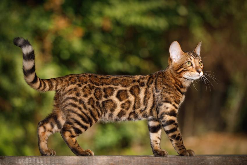 Rasowy kot bengalski podczas spaceru, a także jego charakter i hodowla