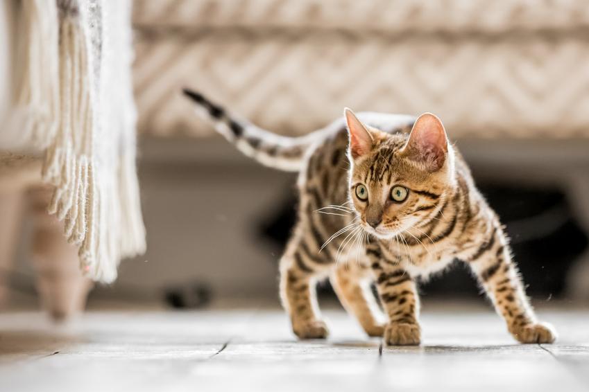 Mały kot bengalski na podłodze, a także cena kota bengalskiego z rodowodem