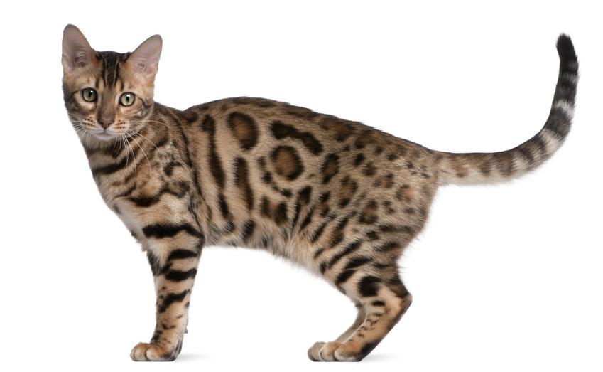 Kot bengalski na białym tle oraz hodowla kota bengalskiego i cena kota bengalskiego z rodowodem