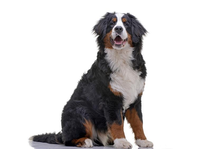 Berneński pies pasterski na białym tle oraz charakter berneńskiego psa pasterskiego