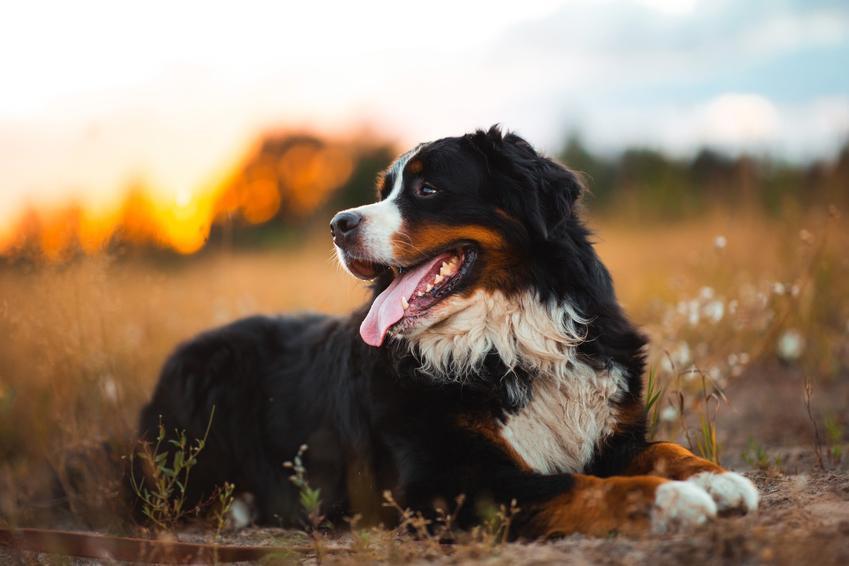 Berneński pies pasterski na tle zieleni oraz charakter berneńskiego psa pasterskiego