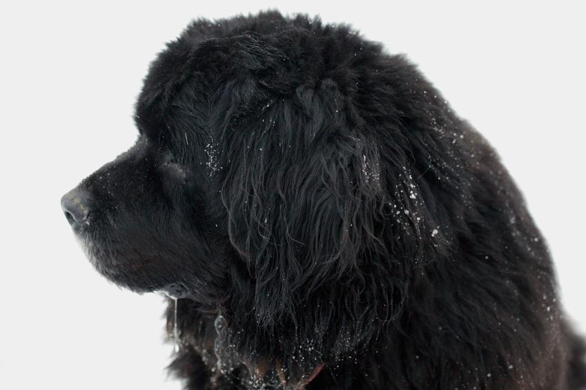 Pies rasy nowofundland na białym tle oraz charakter nowofundlanda