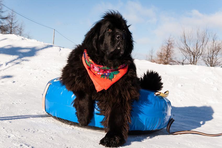 Pies rasy nowofundland na stoku zimowym, a także charakter nowofundlanda