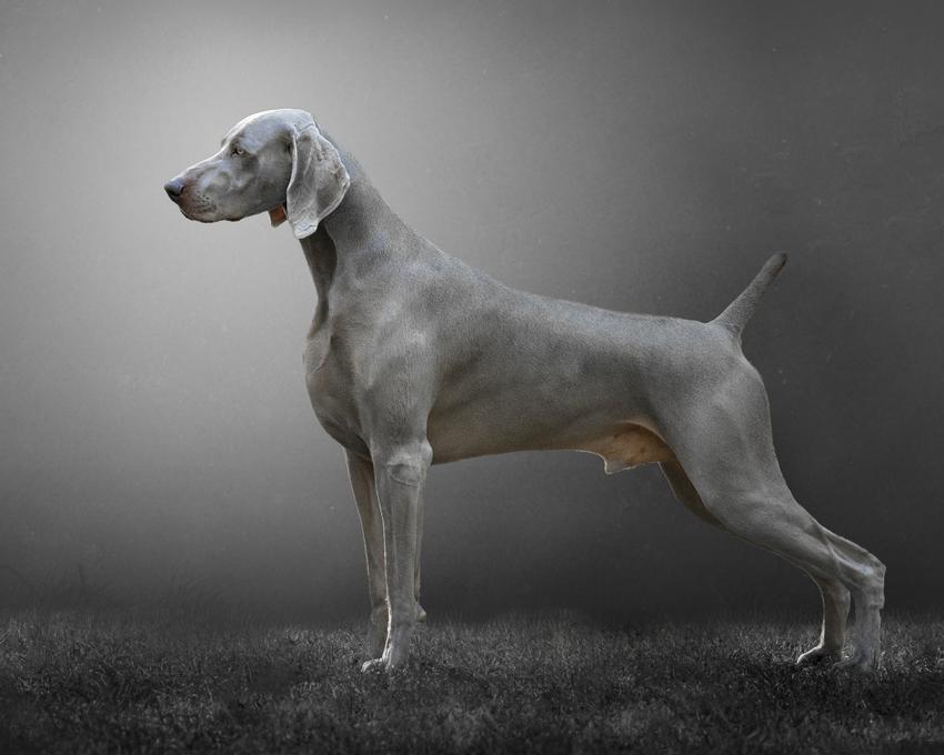 Pies rasy dog niemiecki błękitny na szarym tle, a także jego hodowla i cena