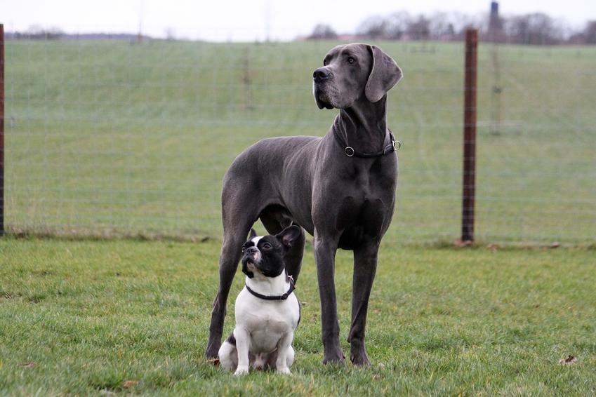 Pies rasy dog niemiecki z małym psem oraz największy pies świata