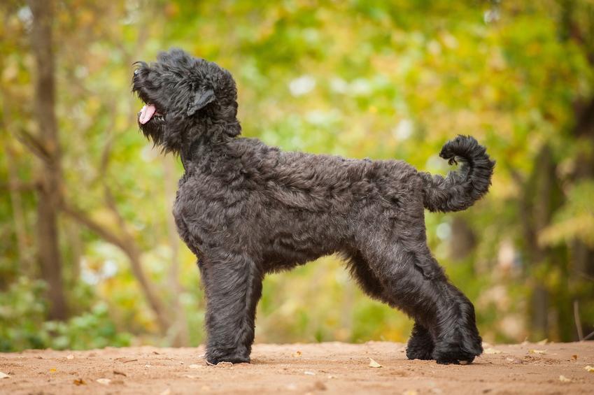 Pies rasy terier rosyjski na tle zieleni, a także cena terriera rosyjskiego