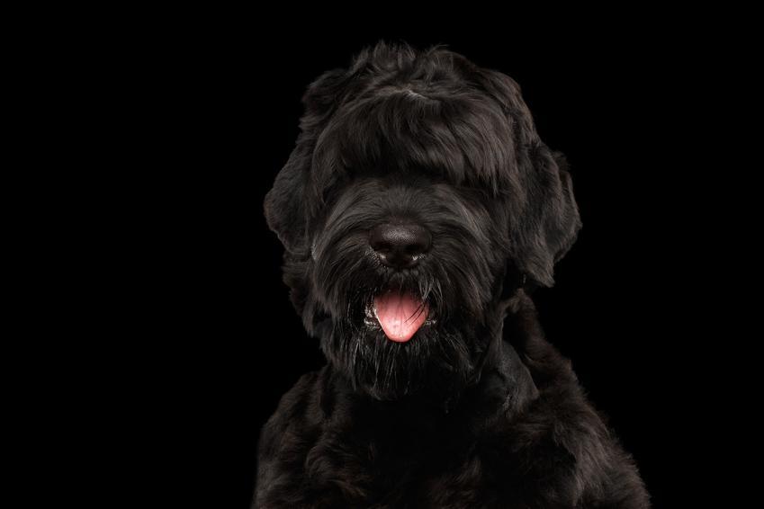 Pies rasy terier rosyjski na czarnym tle oraz cena terriera rosyjskiego