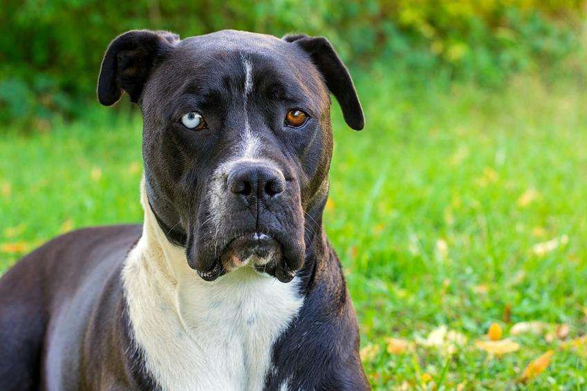 Amstaff czarny na tle zielonej trawy, a także amstaff terrier i cena amstaffa amerykańskiego
