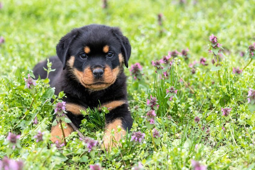 Szczeniak rottweilera siedzący w trawie, a także wychowanie i hodowla