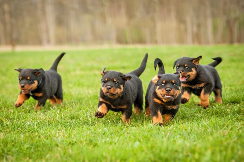 Szczenaki rottweilera biegające po trawniku, a także szczeniak rottweilera i cena