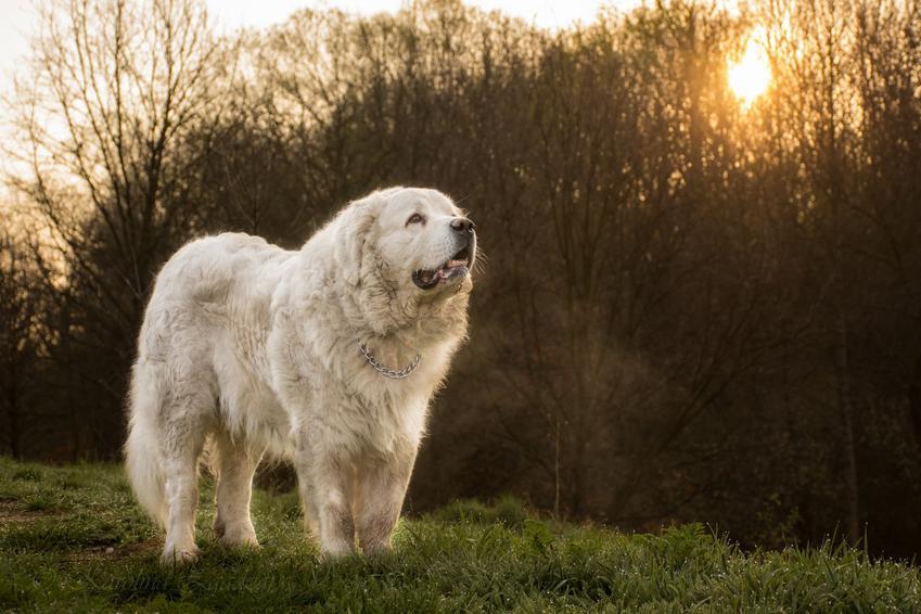 Pies rasy owczarek podhalański na tle zieleni, a także cena owczarka podhalańskiego