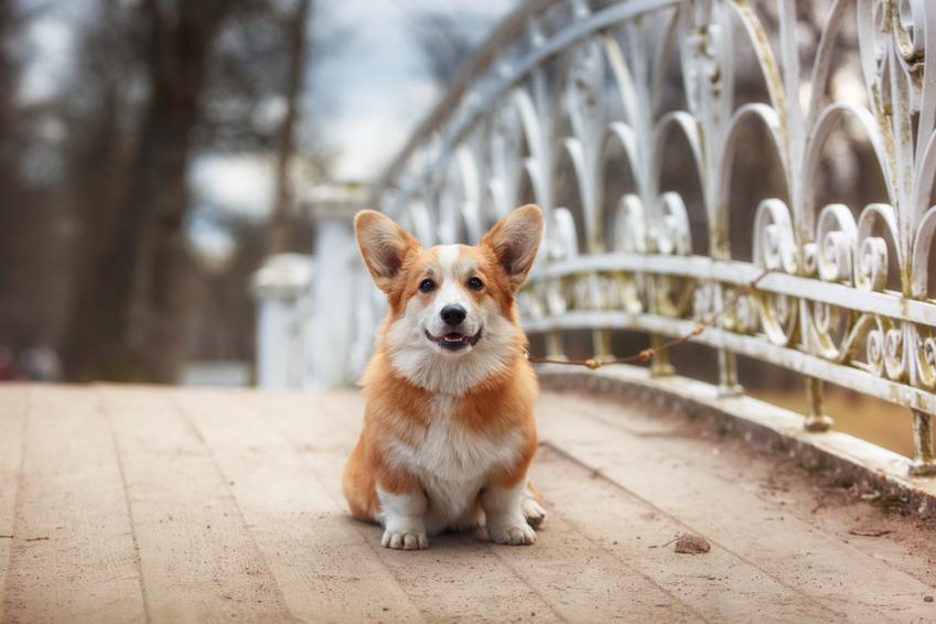 Pies rasy welsh corgi pembroke siedzący na moście, a także hodowla welsh corgi pembroke