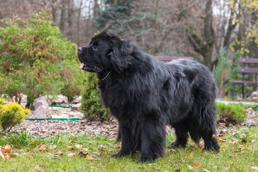 Pies rasy nowofundland na podwórku podczas spaceru, a także polecana hodowla nowofundlanda w Polsce