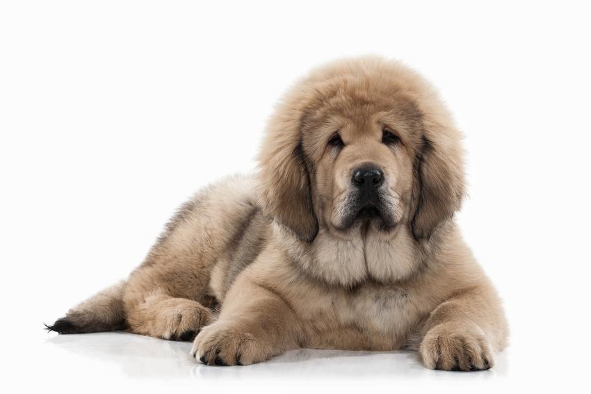Pies rasy szczeniak mastifa tybetańskiego na białym tle, a także opis rasy i cena za szczeniaki