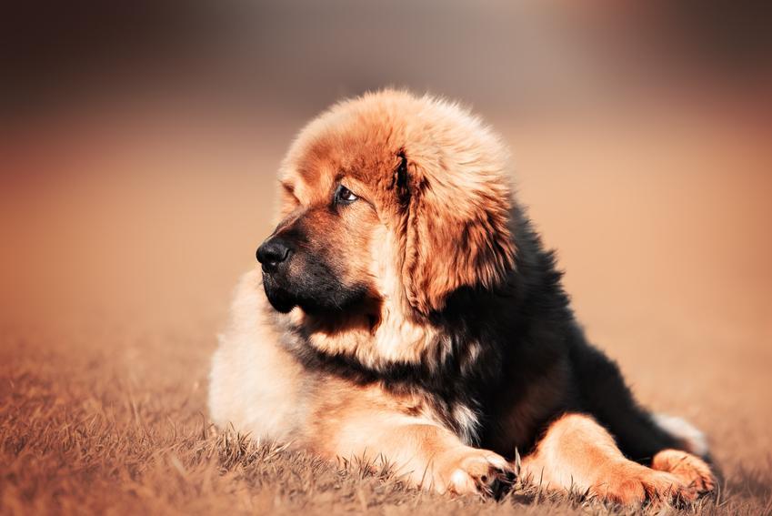 Szczeniak mastifa tybetańskiego na rozmytym tle, a także charakter i hodowla