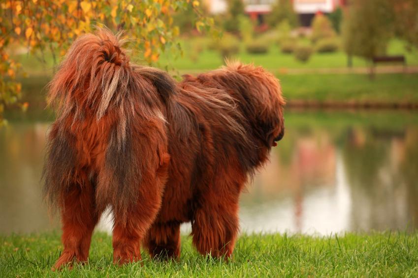 Pies rasy czerwony mastif tybetański nad wodą, a także jego charakter i cena