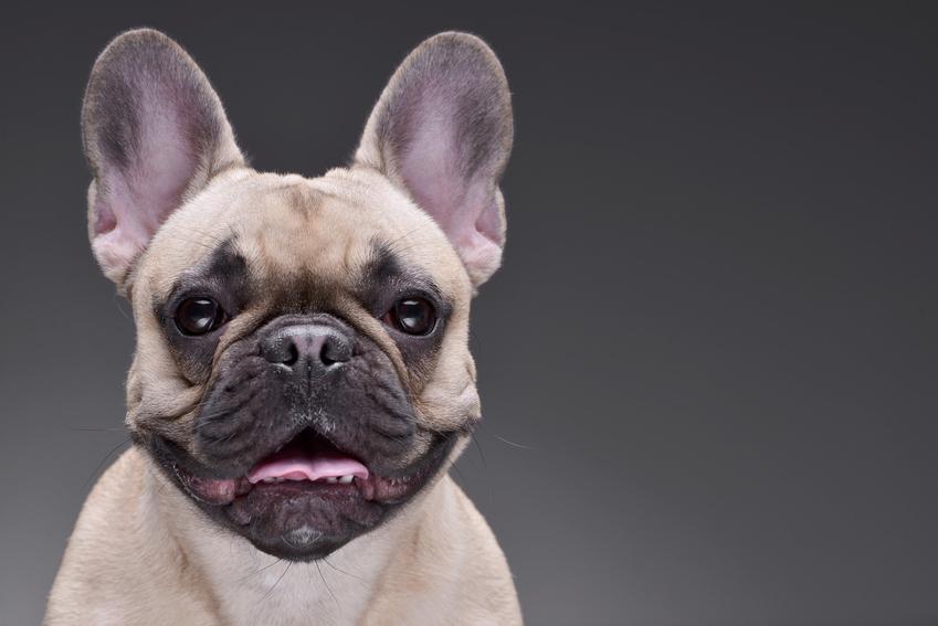 Pies rasy buldog francuski na szarym tle oraz szczeniaki buldoga francuskiego