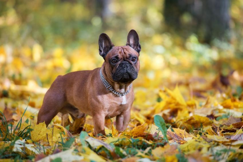 Pies rasy buldog francuski wśród liści oraz szczeniaki buldoga francuskiego