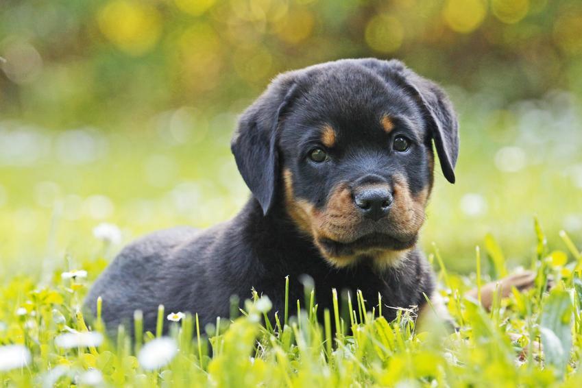 Szczeniak rottweilera leżący w trawie, a także cena rottweilera z rodowodem