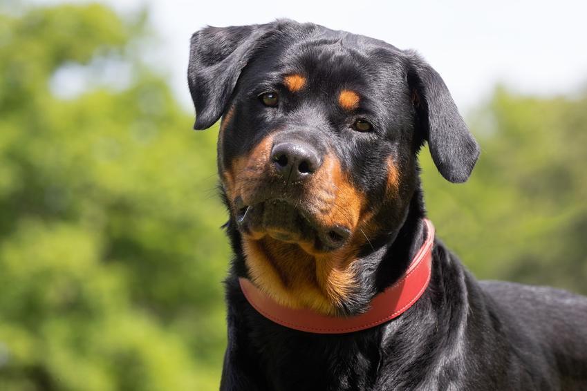 Pies rasy rottweiler na tle zieleni oraz cena rottweilera z rodowodem