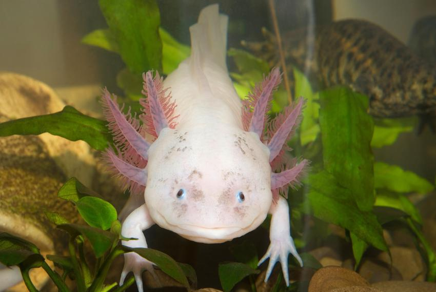 Różowa salamandra meksykańska w akwarium, a także jej hodowla